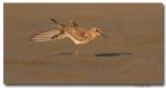 Bécasseau de Baird - club ornithologie Trois-Rivières