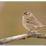 Bruant à couronne blanche - Club Ornithologie Trois-Rivières