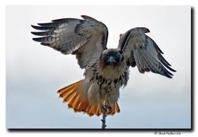 Buse à queue rousse - club d'ornithologie Trois-Rivières
