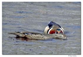 canard branchu-club ornithologie Trois-Rivieres