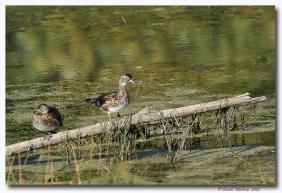 canard branchu- club ornithologie Trois-Rivieres