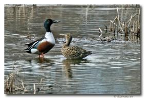 canard souchet - club ornithologie Trois-Rivieres