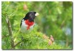 Cardinal à poitrine rose - club ornithologie Trois-Rivières
