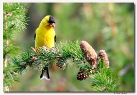 chardonneret jaune - club ornithologie Trois-Rivieres