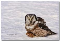 Chouette épervière - club ornithologie Trois-Rivières