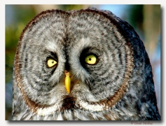 Chouette lapone - club ornithologie Trois-Rivieres