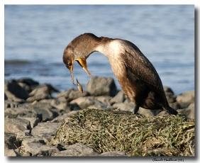 cormoran a aigrettes - club ornithologie Trois-Rivieres