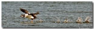 garot d'islande - club d'ornithologie Trois-Rivières