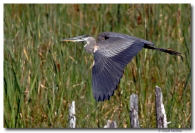 grand heron -club ornithologie Trois-Rivieres