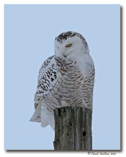 Harfang des neiges-club ornithologie Trois-Rivieres (2)