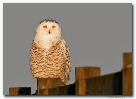 harfang des neiges-club ornithologie Trois-Rivieres