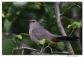 Moqueur chat - club ornithologie Trois-Rivières