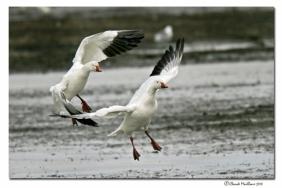 oies des neiges-club ornithologie Trois-Rivieres