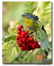 Paruline a collier- club ornithologie trois-rivieres