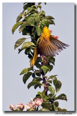 paruline jaune - club ornithologie Trois-Rivières