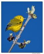 paruline jaune- club ornithologie Trois-Rivieres