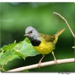 Paruline triste - club ornithologie Trois-Rivières