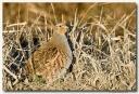 Perdrix grise - club ornithologie Trois-Rivières