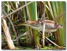 Petit blongios - club ornithologie Trois-Rivières