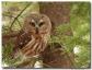 Petite nyctale - club ornithologie Trois-rivières