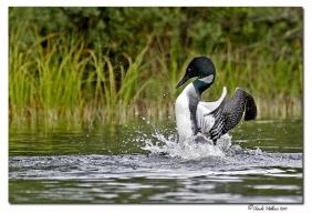 plongeon huard - club ornithologie Trois-Rivieres
