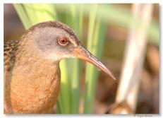 Râle de Virginie - club ornithologie Trois-Rivières