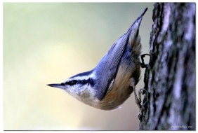 sitelle à poitrine rousse-club ornithologie Trois-Rivieres