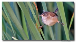 troglodyte des marais - club ornithologie Trois-Rivières